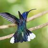 hummers, Violet Sawbrewing Hummingbird