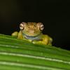 baby gladiator tree frog