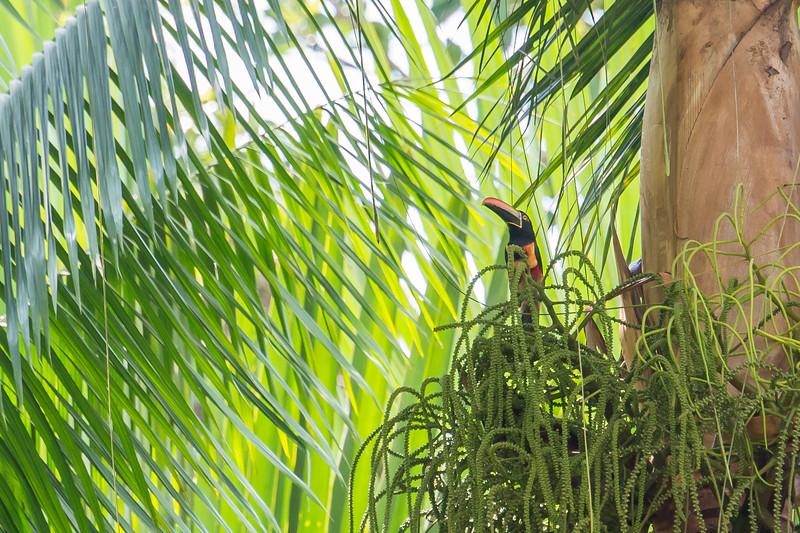 Firey-billed Aracari, in the Toucan family