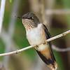 hummers, Scintillant Hummingbird