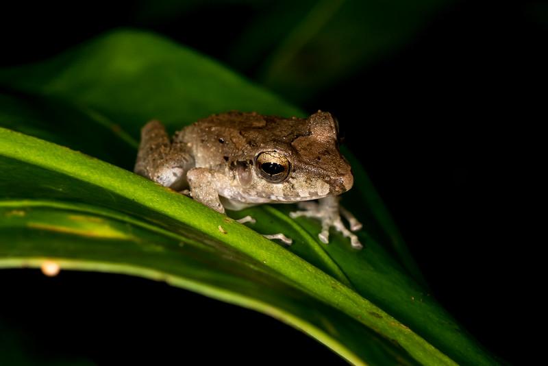 Rainforest Tree Frog