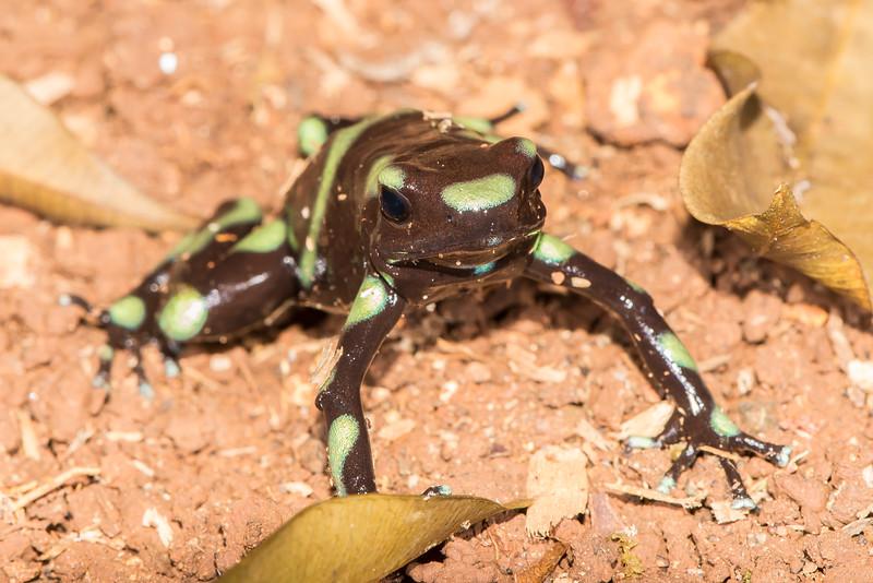 Chocolate Mint Poison Dart Frog