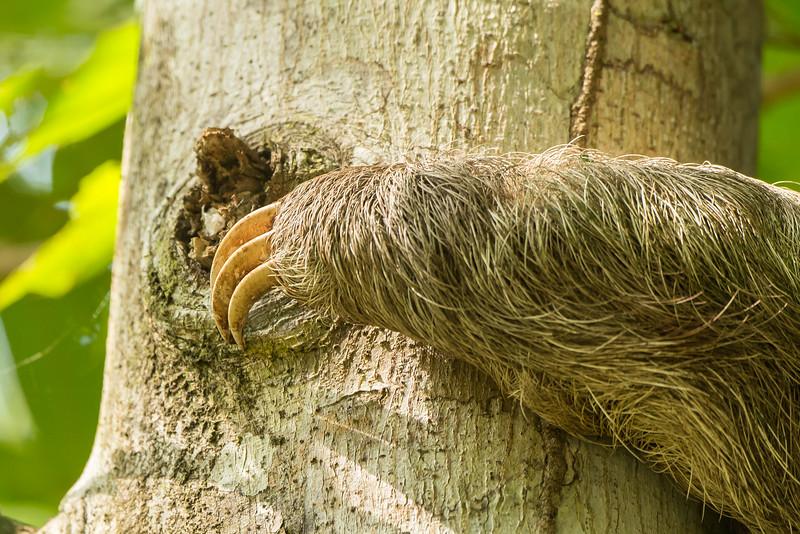 3-toed Sloth, Three toed Sloth