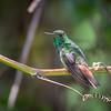 hummers, Rufous-tailed Hummingbird