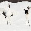Japanese Red Capped Cranes - Dancing behavior