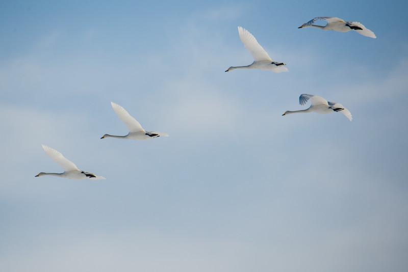 Whooper Swans at Crane Center, Kushiro, Japan