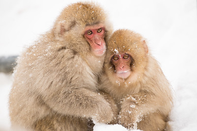 Snow Monkeys - - Japan 2014