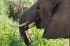 Elephant, Samburu Nat'l Park