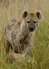 Spotted hyena with Hippo bones, Maasai Mara