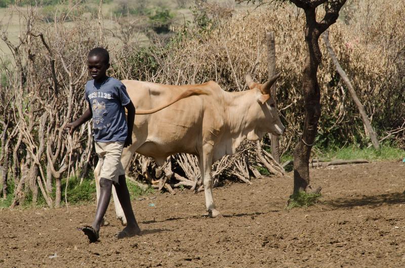 Maasai boy with cow