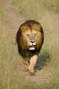lion, Maasai Mara