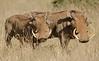 warthog, Samburu
