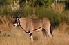 Oryx, Samburu Nat'l Park
