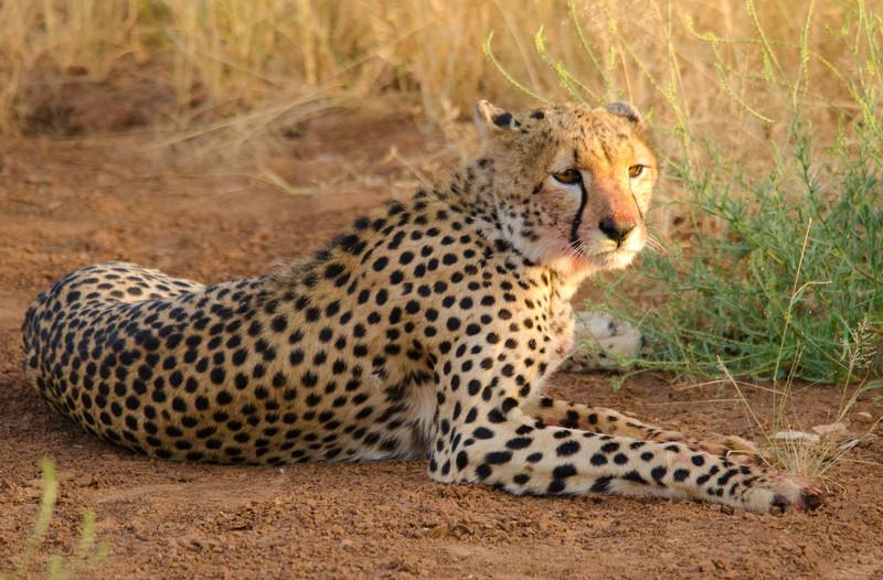 young male Cheetah, Samburu