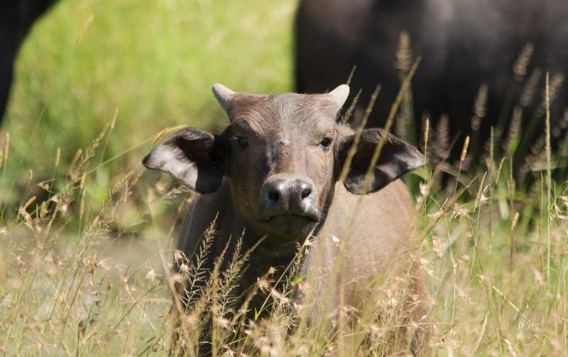 Cape Buffalo calf, Maasai Mara