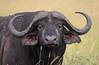 Cape Buffalo, Maasai Mara