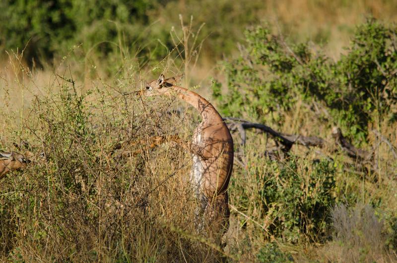 Geranuks, Samburu Nat'l Park