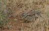 African Hare, Samburu Nat'l Park