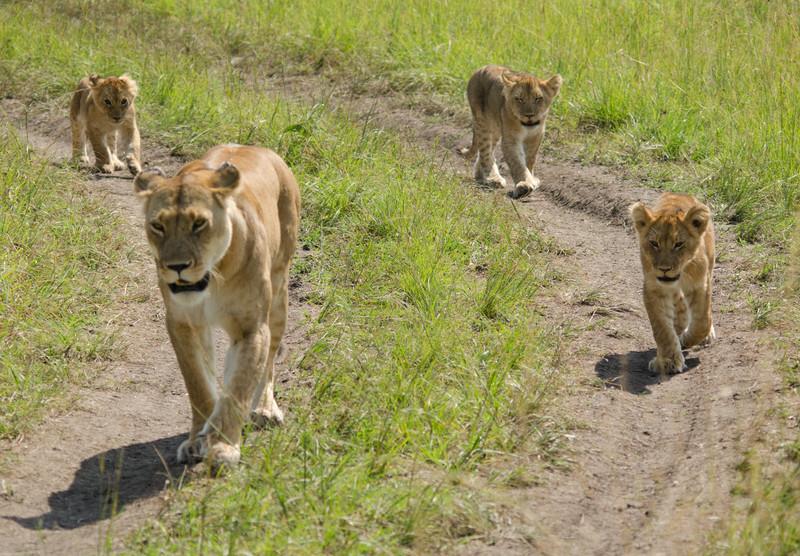 lion family, Maasai Mara