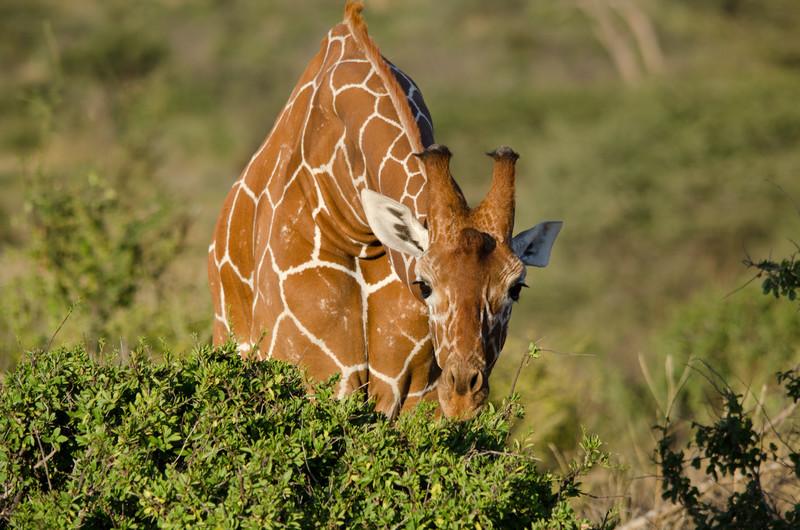 Samburu Nat'l Park, Reticulated Giraffe