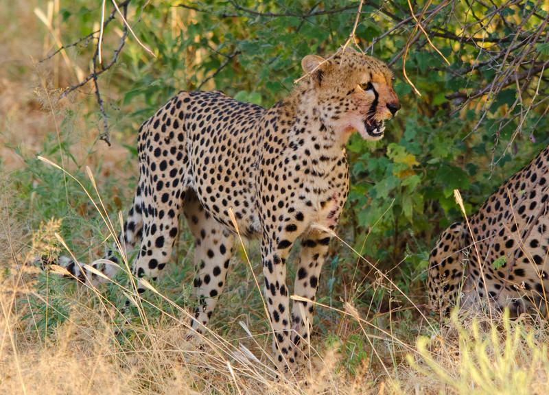 young cheetah males after a Dik Dik capture