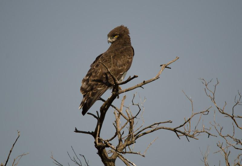 Brown Snake Eagle, Maasai Mara