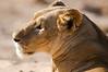 lioness, Samburu