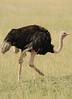 maasai Ostrich