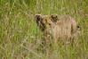lion cub, Maasai Mara