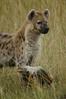 Spotted Hyena with Hippo bone, Maasai Mara