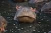 goofy hippo