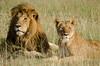 mating lion pair, Maasai Mara