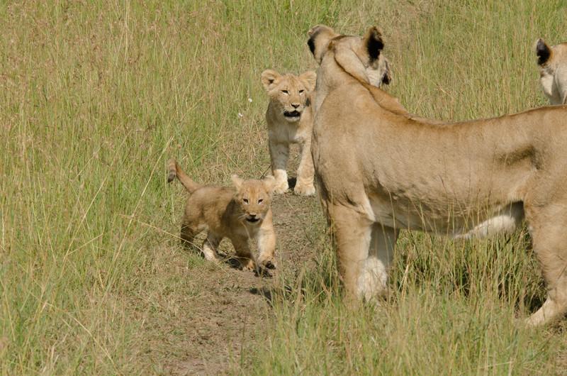 lion cubs and moms, Maasai Mara