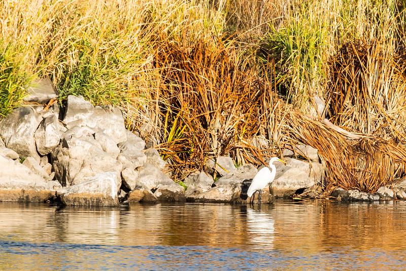 White Egret, Klamath Marina, Oregon