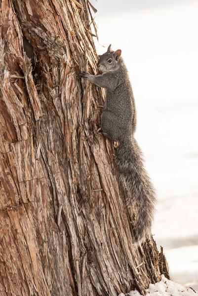 Grey Squirrel, Bend, Oregon