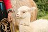 baby alpaca
