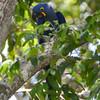 Hyancinth Macaw