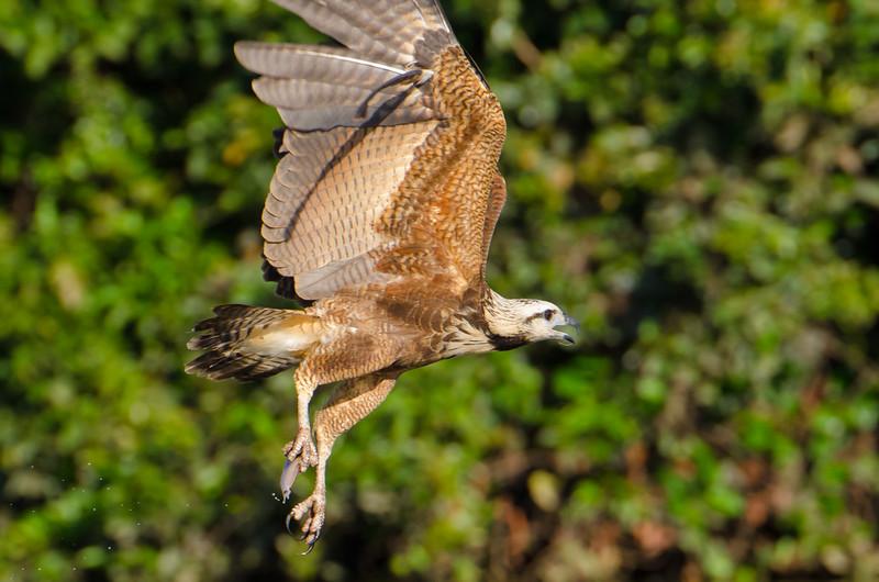 Black Collared Hawk fishing