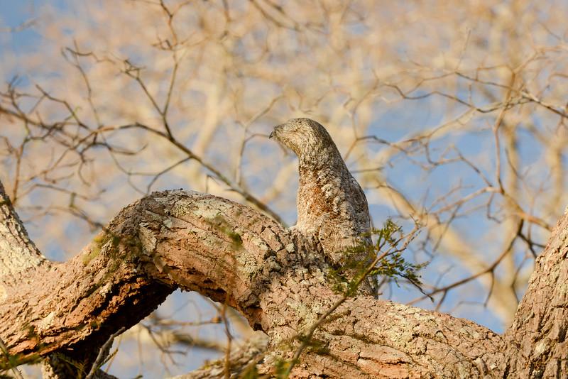 Great Potoo (owl)