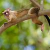 black-tailed marmosets