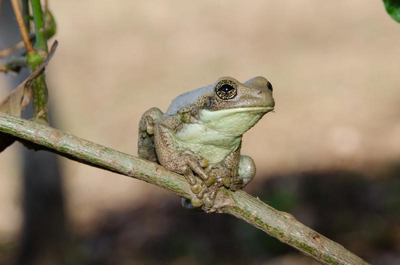 Milky Tree Frog