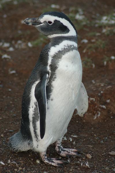 Magellanic Penguin, Chile