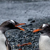 Gentoo Penguin family 'discussion'