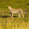 Profile of Momma Cheetah