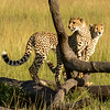 Cubs on the lookout!