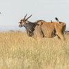 Eland with a touch of zebra!