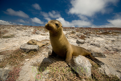 Galapagos Sea Lion (Zalophus wollebaeki), an endangered species