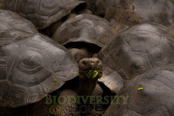 Charles Island Tortoise (Geochelone nigra galapagoensis), an endangered species