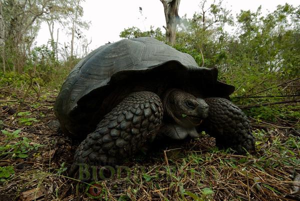 Indefatigable Island Tortoise  (Geochelone nigra porten) An Endangered Species.
