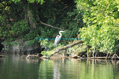 Blue Heron on Dewey Lake.